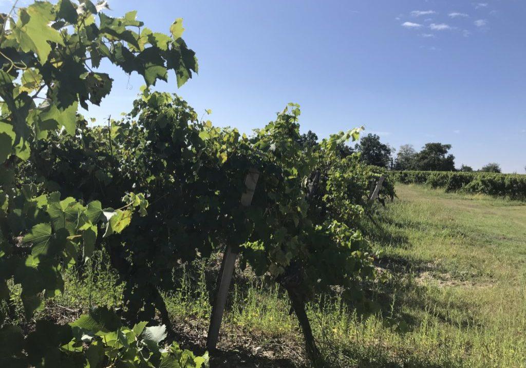 vigne bretagne d'armagnac